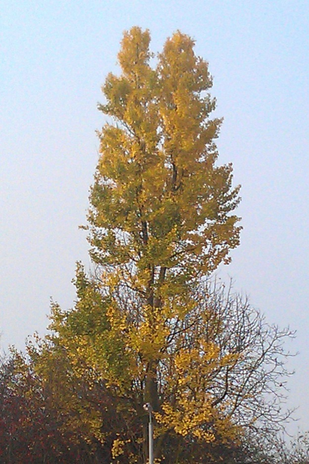 The Ginkgo tree at the top right of the Newlands car park